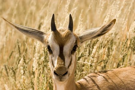 Young springbok in Kgalagadi Transfrontier Park