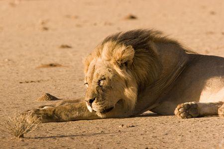 Sleeping black-maned lion in Kgalagadi Transfrontier Park