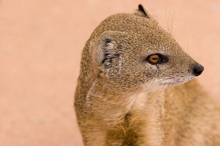 White-tailed mongoose in Kgalagadi Transfrontier Park Stock Photo