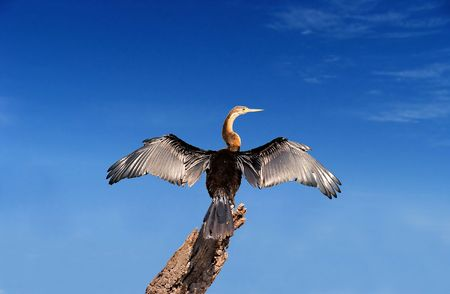 African Darter spreading its wings
