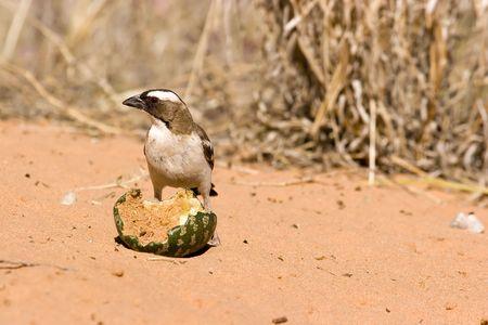 Bird in Kgalagadi Transfrontier Park eating a Tsamma Melon