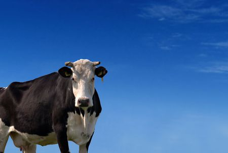 Black and white cow against a blue sky              Stock Photo