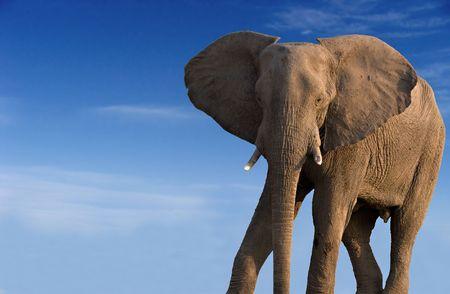 Elephant bull against a blue sky                         photo