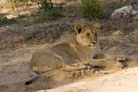 Lion cub in Kgalagadi Transfrontier park photo