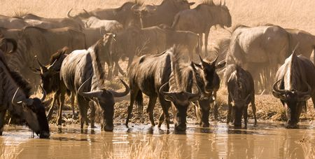 Wildebeest drinking from waterhole in Kgalagadi