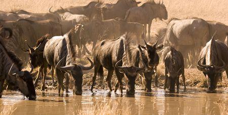 pozo de agua: Wildebeest potable de abrevadero en Kgalagadi