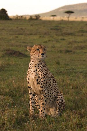 Cheetah on lookout in the Masai Mara Kenya Stock Photo