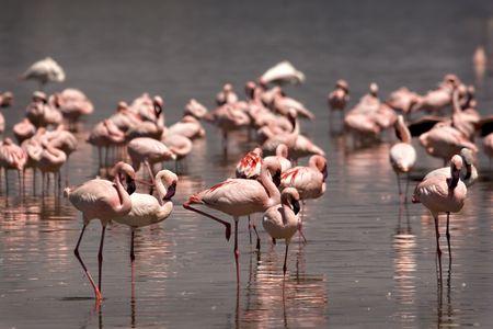 Flock of flamingos at Lake Nakuru Kenya