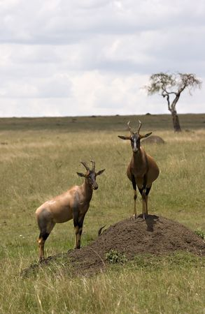 2 topi´s in the Masai Mara Kenya on lookout Stock Photo - 3939800