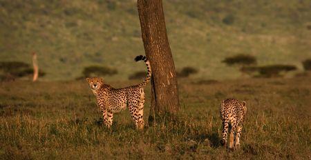 Two male cheetahs in Masai Mara Kenya marking their territory