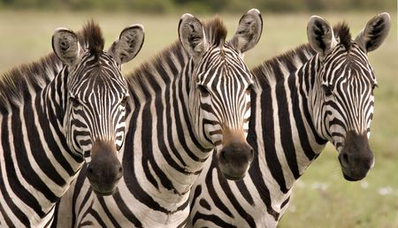 Close up of three zebras in Masai Mara Kenya Stock Photo