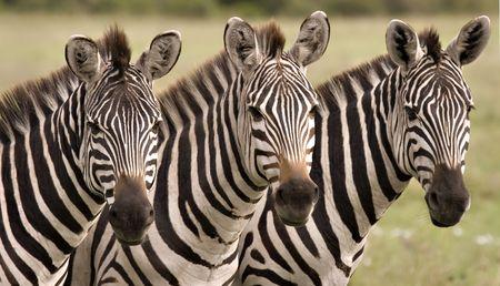 Close up of three zebras in Masai Mara Kenya Stock Photo