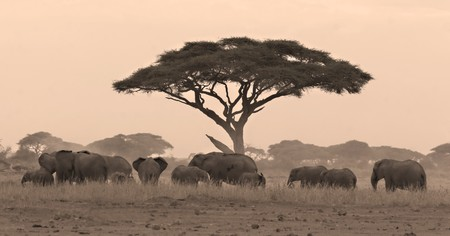 Elephant herd under acacia tree in Amboseli Kenya