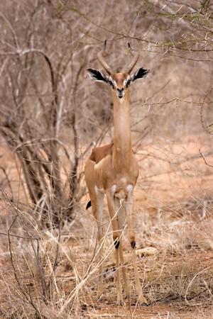 hing: Gerenuk en el Parque Nacional Tsavo East Kenia Foto de archivo
