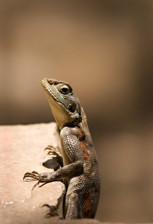 Lizard on a ledge in Tsavo in Kenya Stock Photo