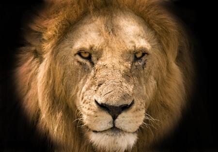 Lion against a black background photo