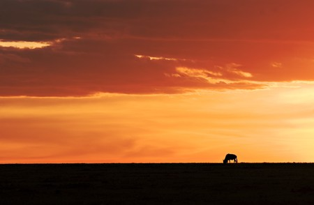 Silhouette of a wildebeest during sunset in the Masai Mara in Kenya