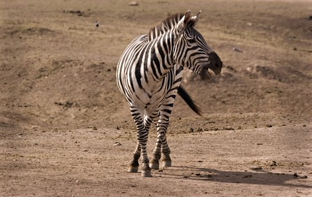 Zebra in Masai Mara calling out Stock Photo - 3963078