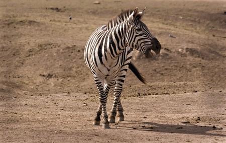 Zebra in Masai Mara calling out Stock Photo - 3963078