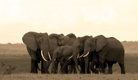Elephant herd in Ambosli Kenya