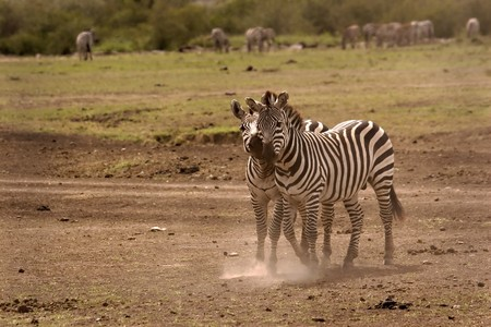 Two zebras cuddling in Masai Mara Kenya
