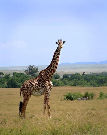 Giraffe standing on plains of Masai Mara Kenya Stock Photo - 4005439