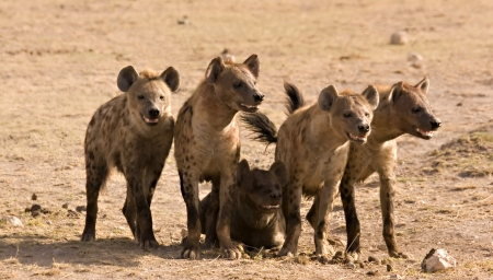 Pack of hyenas in Amboseli Kenya