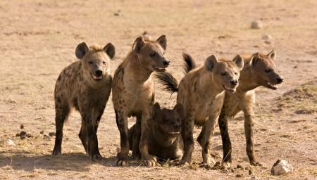 voracious: Pack of hyenas in Amboseli Kenya