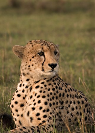 Cheetah posing in Masai Mara Kenya