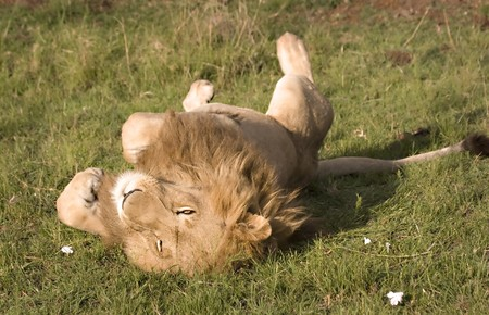 Lion rolling in the grass