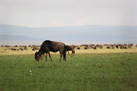Grazing wildebeest during migration Masai Mara Kenya Stock Photo