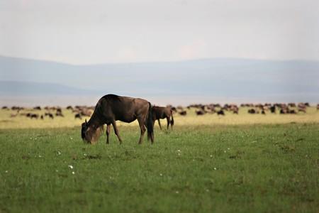 Grazing wildebeest during migration Masai Mara Kenya Stock Photo