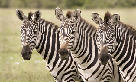 Three zebras in a row in Masai Mara Kenya Stock Photo - 4020122