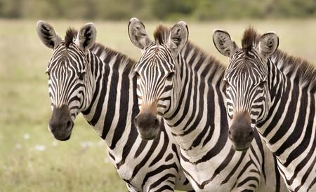 cebra: Tres cebras en una fila de Masai Mara en Kenia