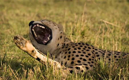 Yawning cheetah in Masai Mara Kenya