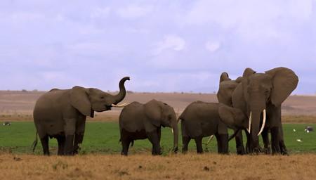 Elephant herd at a swamp in Amboseli Kenya