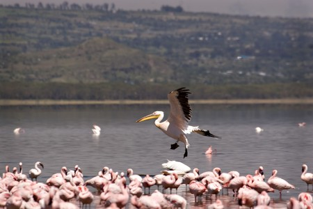 Pelican landing among a flock of flamingos at Lake Nakuru Kenya