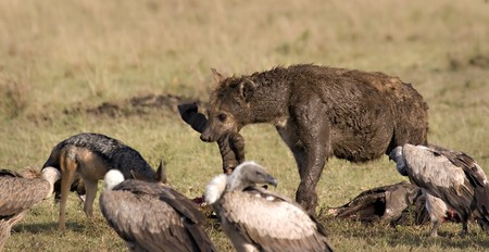 Hyena, vultures and jackal around a zebra carcass in Masai Mara Kenya Stock Photo