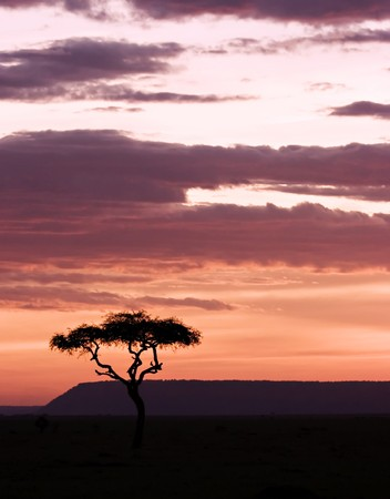 Sun setting in masai mara with acacia on foreground Stock Photo - 4060542