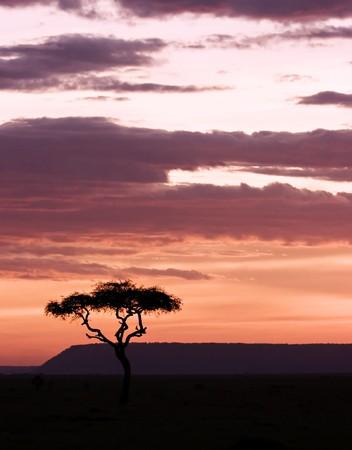 Sun setting in masai mara with acacia on foreground Stock Photo - 4060542