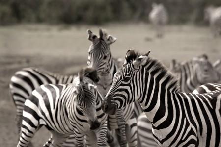 Zebra herd in Masai Mara Kenya fighting amongst themselves