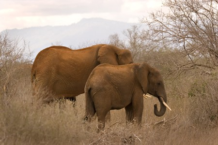 Elephant mother with calf in Tsavo East Kenya Stock Photo