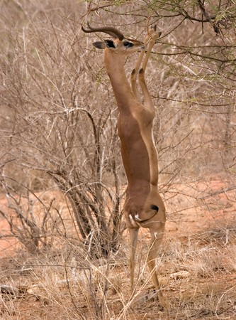 Gerenuk eating in Tsavo East Kenya Stock Photo - 4070517