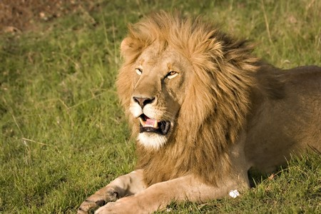 Lion looking impressive in Masai Mara Kenya Stock Photo - 4070511