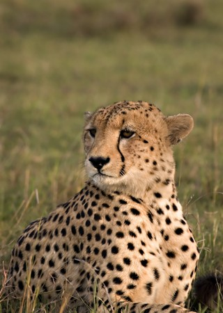 Cheetah posing in the Masai Mara Kenya