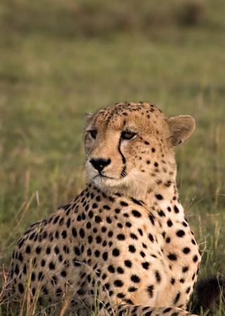 Cheetah posing in the Masai Mara Kenya