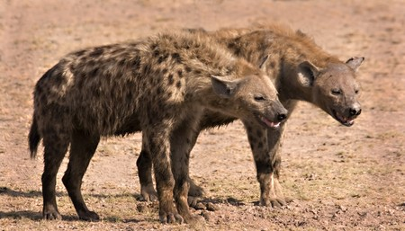 Two hyenas in Amboseli Kenya Stock Photo - 4070514