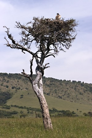 Vulture in tree in Masai Mara Kenya Stock Photo - 4070519
