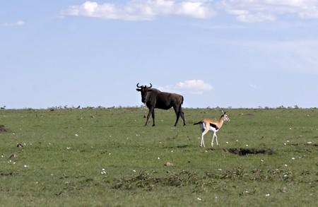 Wildebeest and gazelle in Masai Mara Kenya Stock Photo - 4070513