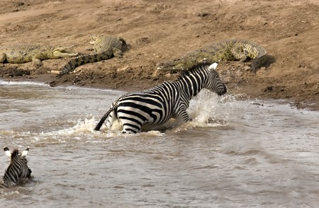 Zebra climbing on riverbank with crocodiles on it in Masai Mara Kenya Stock Photo